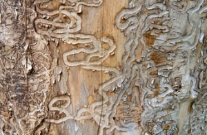 Traces of the Emerald Ash Borer (photo: Univ New Hampshire)