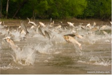 Silver carp jumping out of the Illinois River near Havana, IL (Source: JasonLidsey.com)