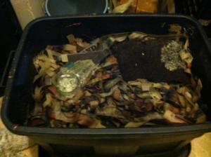 Sarah's worm composting bin (photo: A. Carabez)