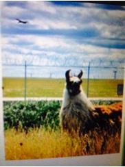 Diedrick 240 blog image Llama at airport