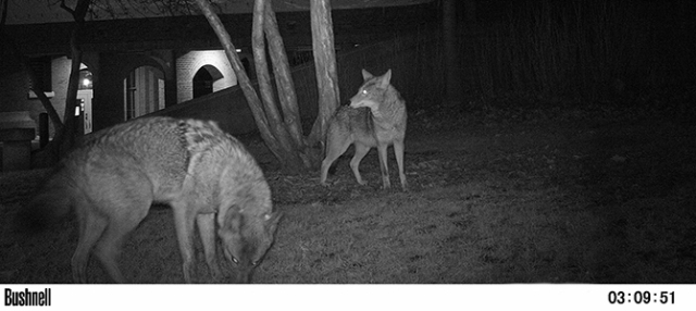 Coyotes spotted on a Chicago Wildlife Watch camera (source: Lincoln Park Zoo)