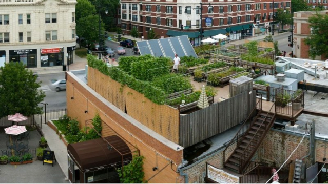 Rooftop Organic Farm Hosted by Uncommon Ground, Certified Green Restaurant in Chicago, Illinois (photo: Zoran Orlic of Zero Studio Photography / Uncommon Ground)