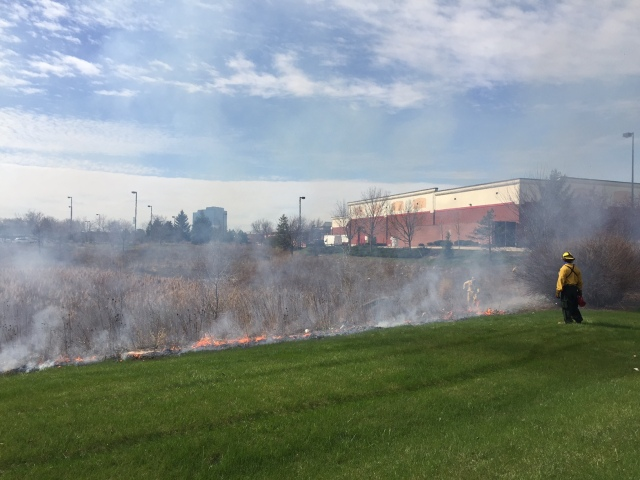 Prescribed burn of the detention pond at RU's Schaumburg Campus, 15 Apr 2015 (photo: T. Shelton)