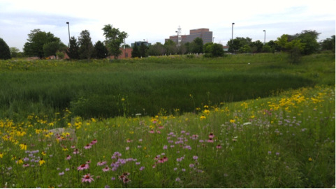 Restored prairie along the detention pond at RU's Schaumburg Campus (S. Tag, Aug 2015)