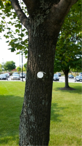 A tagged tree at RU's Schaumburg Campus, Fall 2015 (photo: S. Tag)